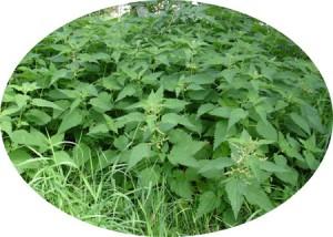 Sources naturelles de silicium: ortie et prêle pour reminéraliser